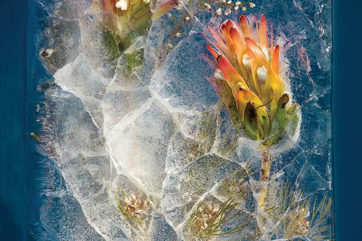 Kwiaty skute lodem Bruce'a Boyda