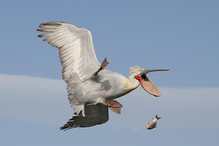 """""""Damn!"""" - zwycięskie zdjęcie w kategorii """"The Kenya Airways Creatures in the Air"""" - fot. Nicolas de Vaulx"""
