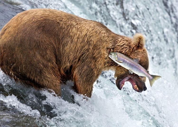 """""""Grizzly bear fail"""" - jedno z kilku najczęściej komentowanych zdjęć - fot. Rob Kroenert"""