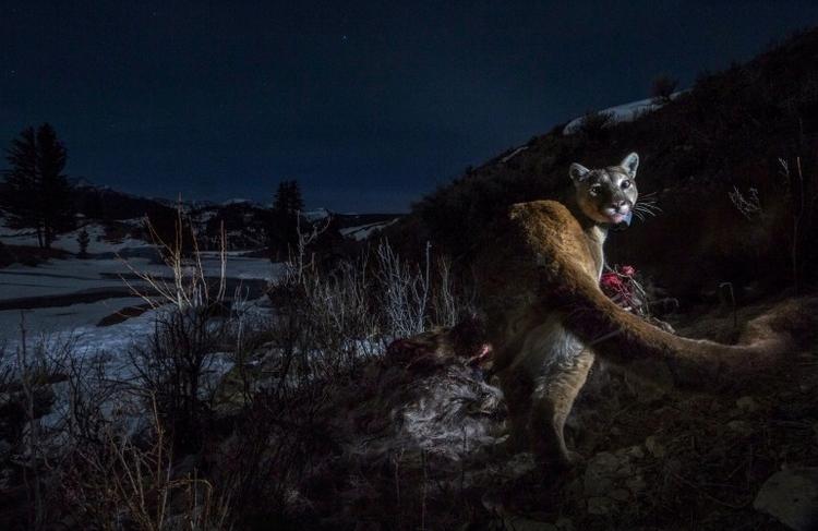 "I nagroda w kat. Natura - reportaż, ""Cougars"", fot. Steve Winter"