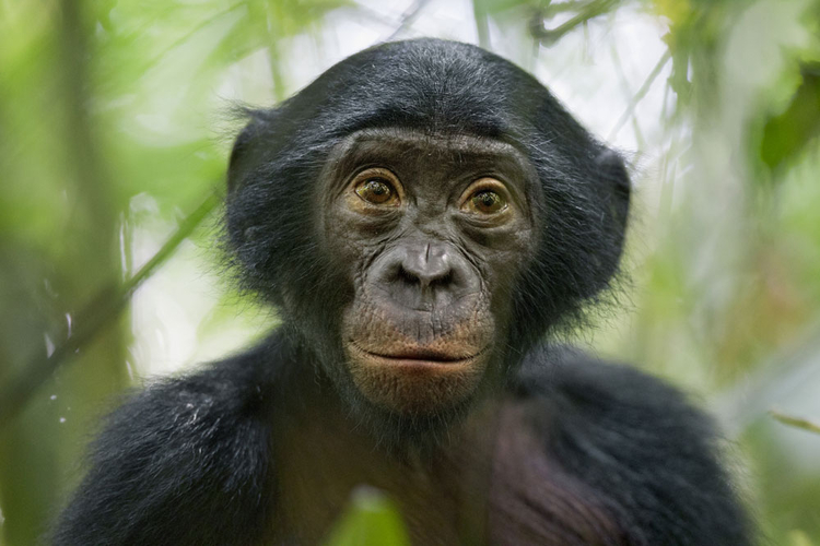 "III nagroda w kat. Natura - reportaż, ""Bonobos - our unknown cousins"", fot. Christian Ziegler"