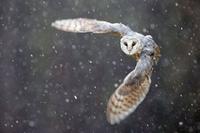 Ben Hall - sowa podczas śnieżycy
