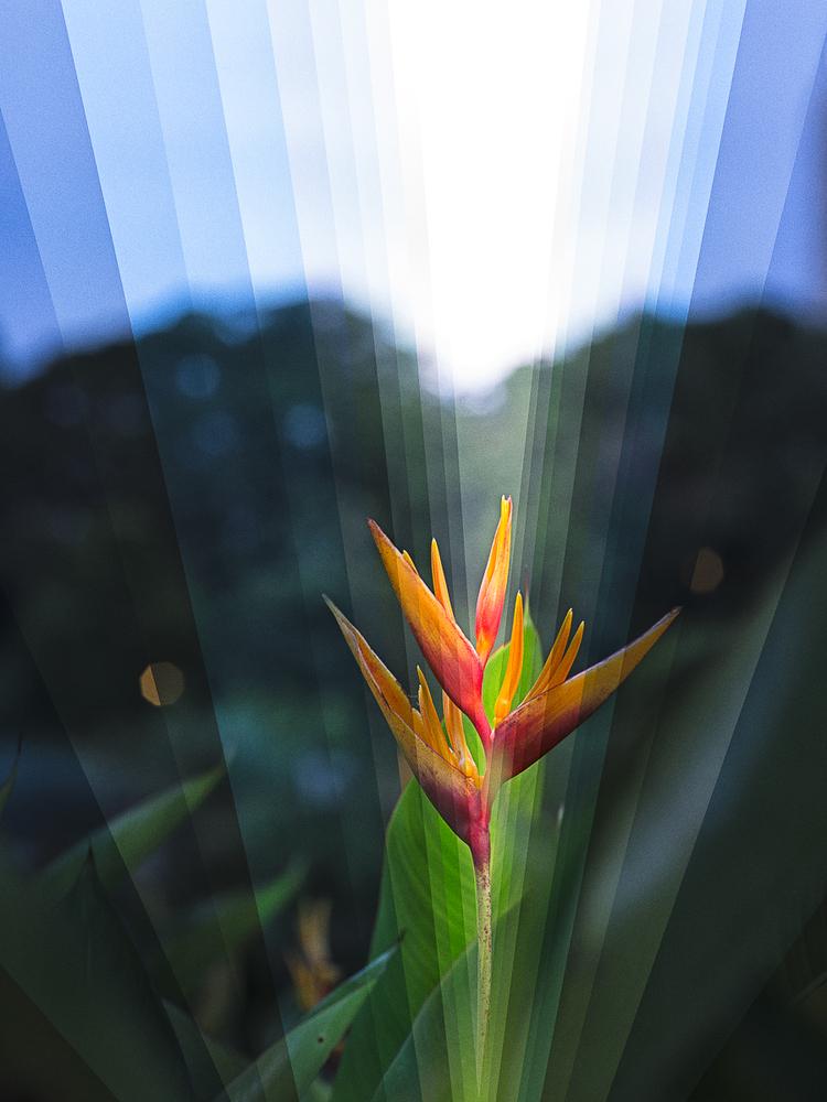 """""""Heliconia i zachod słońca"""", fot. Fong Qi Wei"""