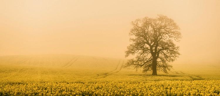 Drzewo na Whale Poranne światło zawsze pada na to drzewo od tyłu. Mark znał to miejsce od kilku lat i czekał cierpliwie na dogodne warunki do zrobienia zdjęcia. Fotograf koniecznie chciał zarejestrować światło przedzierające się przez mgłę. Zdjęcie zostało wykonane aparatem z obiektywem 85 mm i wartością przysłony f/2, tak aby podkreślić senny nastrój sceny i całkowicie rozmyć widoczne na pierwszym planie pole rzepaku. Żółta barwa kwiatów odbija się we mgle.