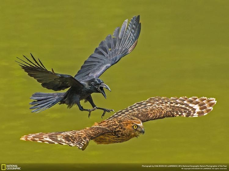"Wyróżnienie w kategorii ""Portret zwierzęcy"" - ""Crow chasing Puffy Owl"", fot. Chia Boon Oo Lawrence | NG Nature Photographer of the Year 2016"