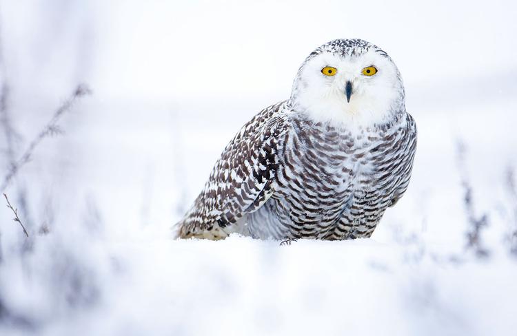 """Sowa śnieżna, fot.Chris Packham.""""Pewnego mroźnego ranka wybrałem się do The Hawk Conservancy Trust niedaleko Andover i, leżąc w śniegu, uchwyciłem to zdjęcie""""."""