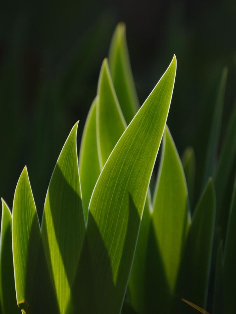 Fotografuj pod światło  Rób zdjęcia z tylnym oświetleniem, a dzięki temu podkreślisz fakturę i kształt roślin. Jeśli w tle uchwycisz zacieniony obszar, uzyskasz geometryczny obraz na pierwszym planie.