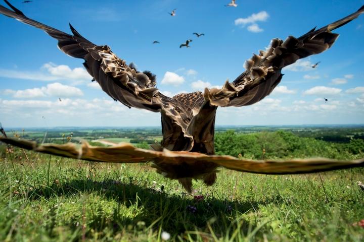 Jamie Hall - kania podrywająca się do lotu