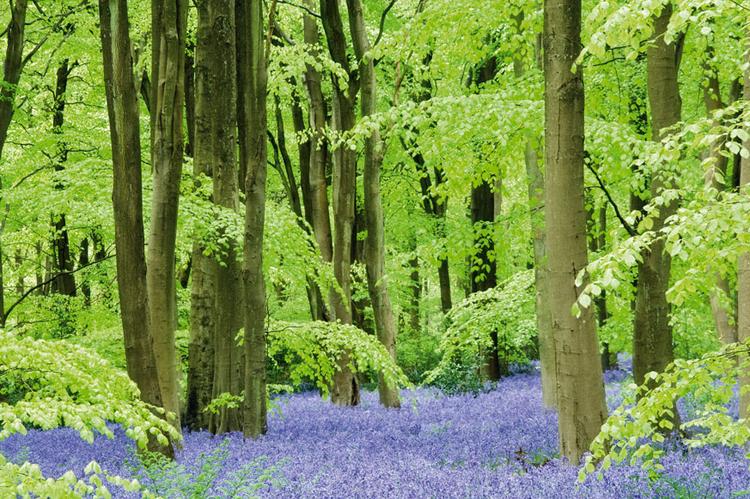 """To klasyczne ujęcie dywanika z """"dzwoneczków"""". Jak widać, autor nie wypełnił całego kadru kwiatami, tylko zestawił fiolet listków z otaczającą je zielenią; fot. Guy Edwardes"""