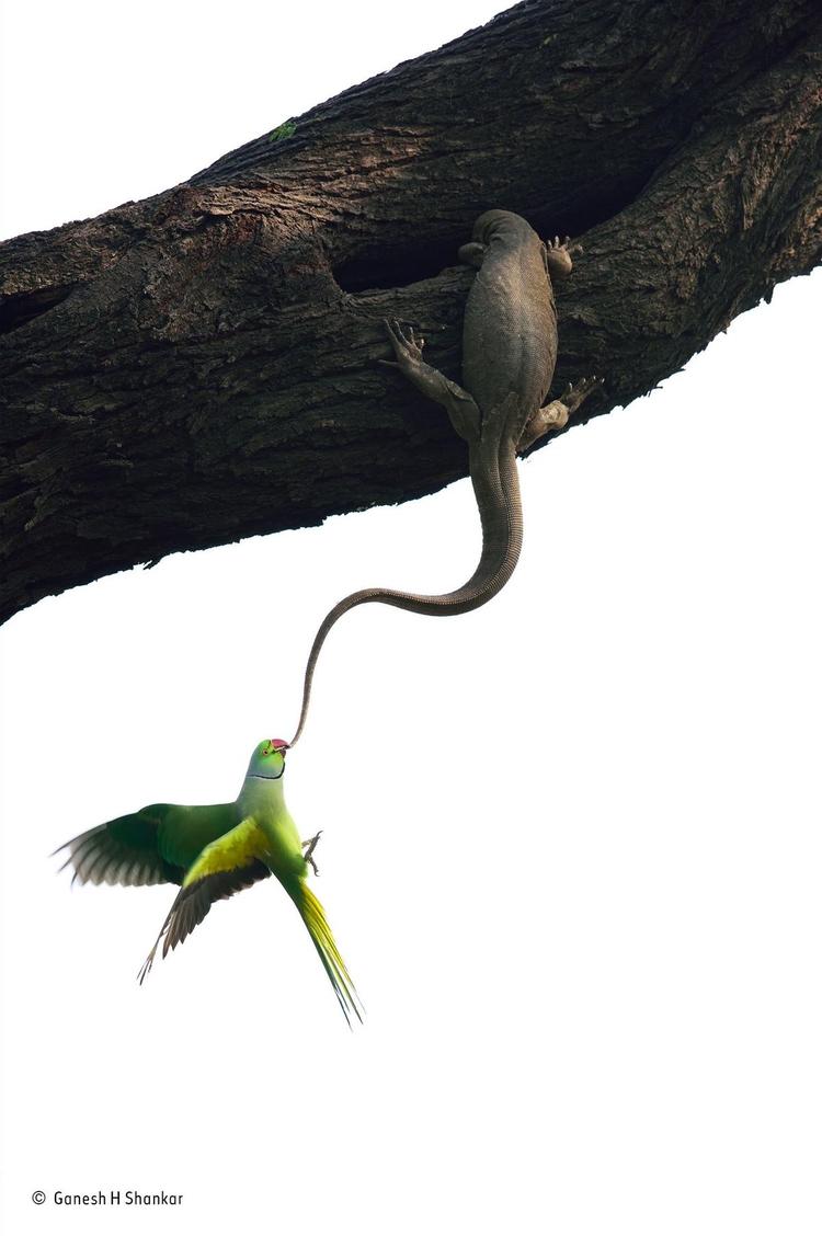 """Zwycięskie zdjęcie z kategorii """"Ptaki"""" - """"Eviction attempt"""". Fot. Ganesh H. Shankar / Wildlife Photographer of the Year"""