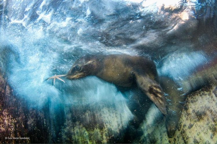 """Zwycięskie zdjęcie z kategorii """"Impresje"""" - """"Star player"""". Fot. Luis Javier Sandoval / Wildlife Photographer of the Year"""