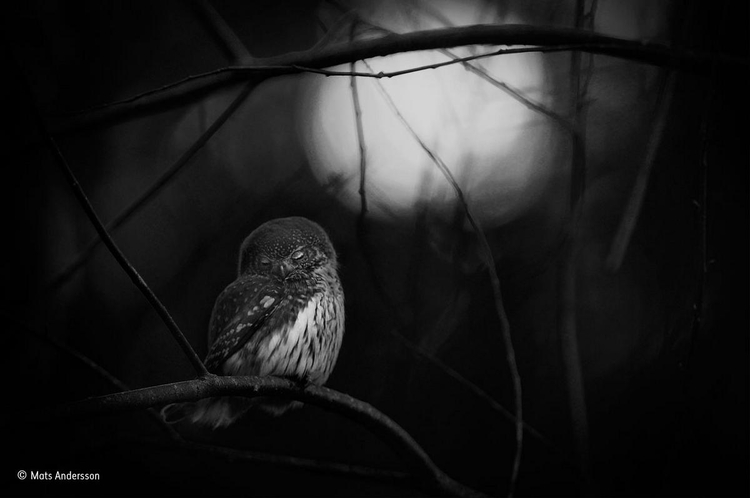 """Zwycięskie zdjęcie z kategorii """"Czarno-białe"""" - """"Requiem for an owl"""" - fot. Mats Anderson / Wildlife Photographer of the Year"""
