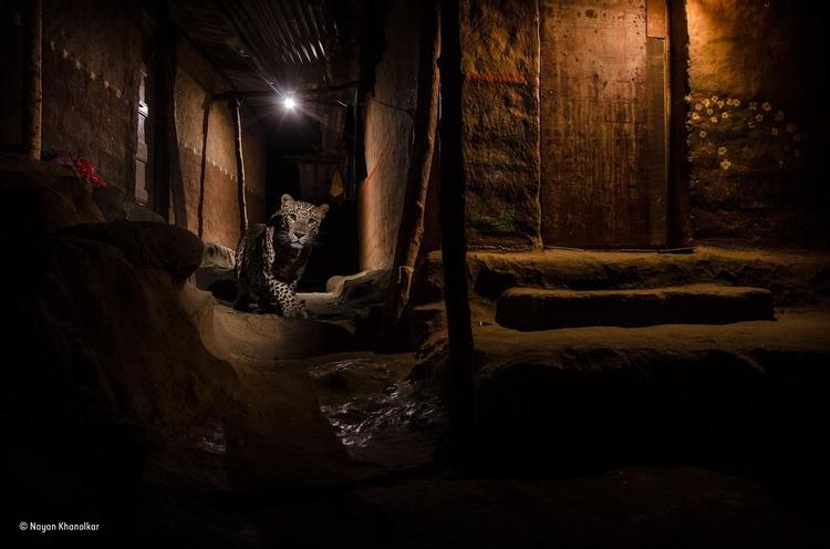 """Zwycięskie zdjęcie z kategorii """"Miasto"""" - """"The alley cat"""". Fot. Nayan Khanolkar / Wildlife Photographer of the Year"""
