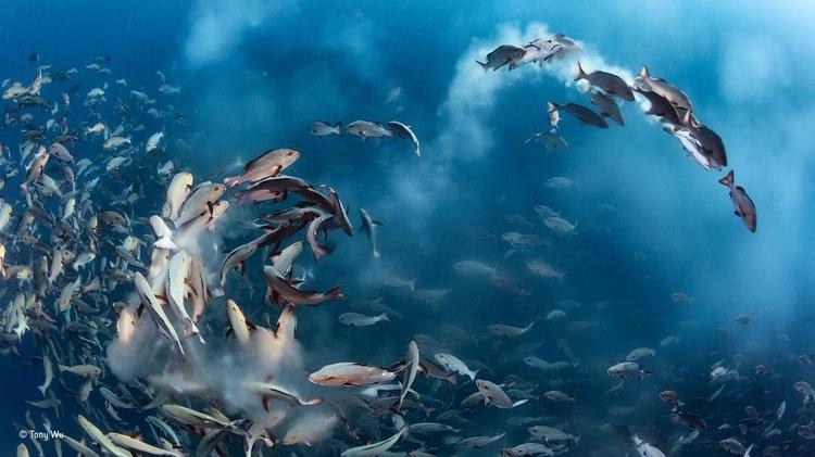 """Zwycięskie zdjęcie z kategorii """"Pod wodą"""" - """"Snapper party"""". Fot. Tony Wu / Wildlife Photographer of the Year"""