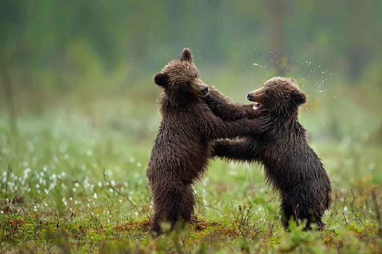 zdjęcie niedźwiadków fotograf Marsel van Oosten