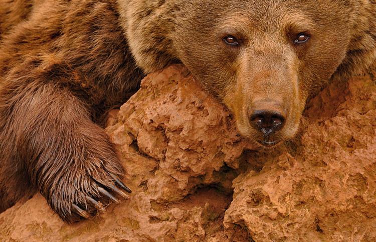 zdjęcie niedźwiedzia fotograf przyrody Marsel van Oosten