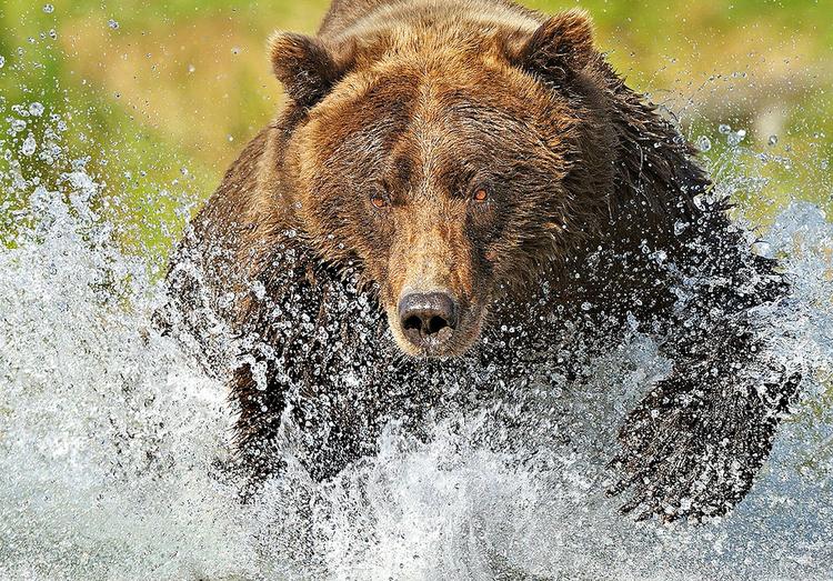 Niedźwiedź grizzly polujący na łososia, fot. Andy Rouse