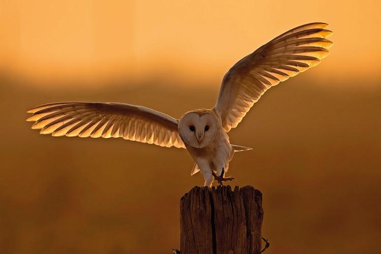 Płomykówka. Kolejne nastrojowe ujęcie zrobione w czasie złotej godziny, gdy panują idealne warunki oświetleniowe do fotografowania zwierząt, fot. Andy Rouse