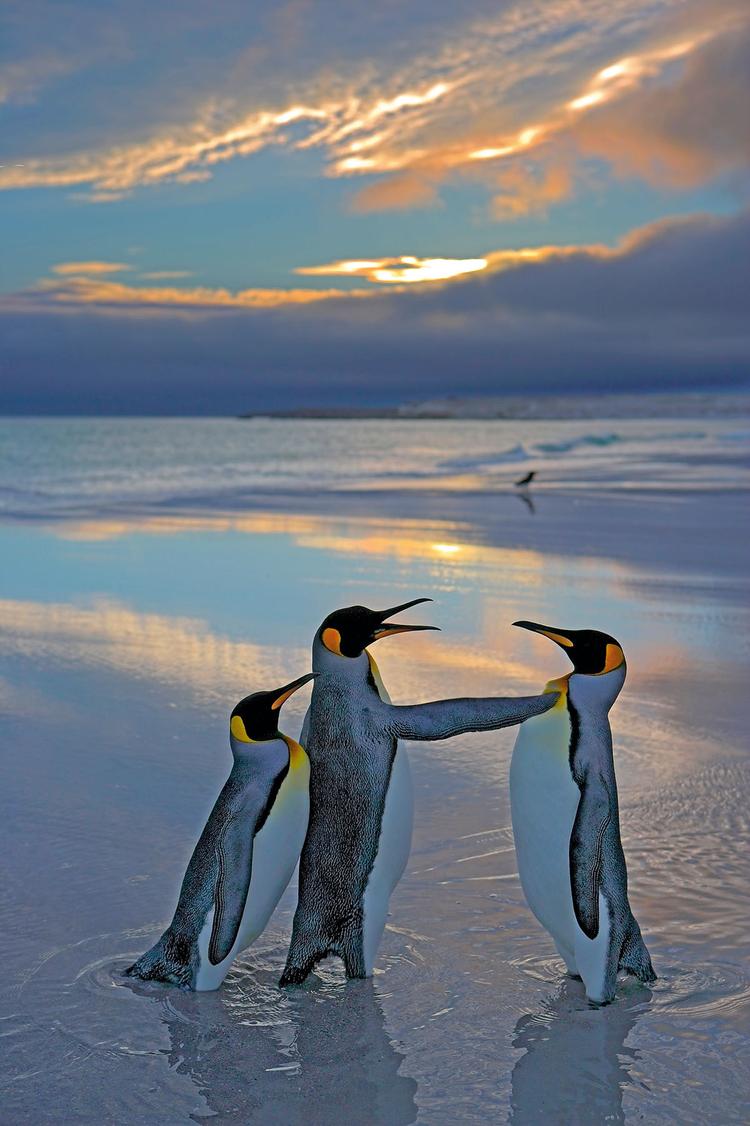 Falklandy, 2007 Pingwiny królewskie, sfotografowane na przylądku Volunteer Point - samiec chroni samicę przed swoim rywalem, fot. Andy Rouse