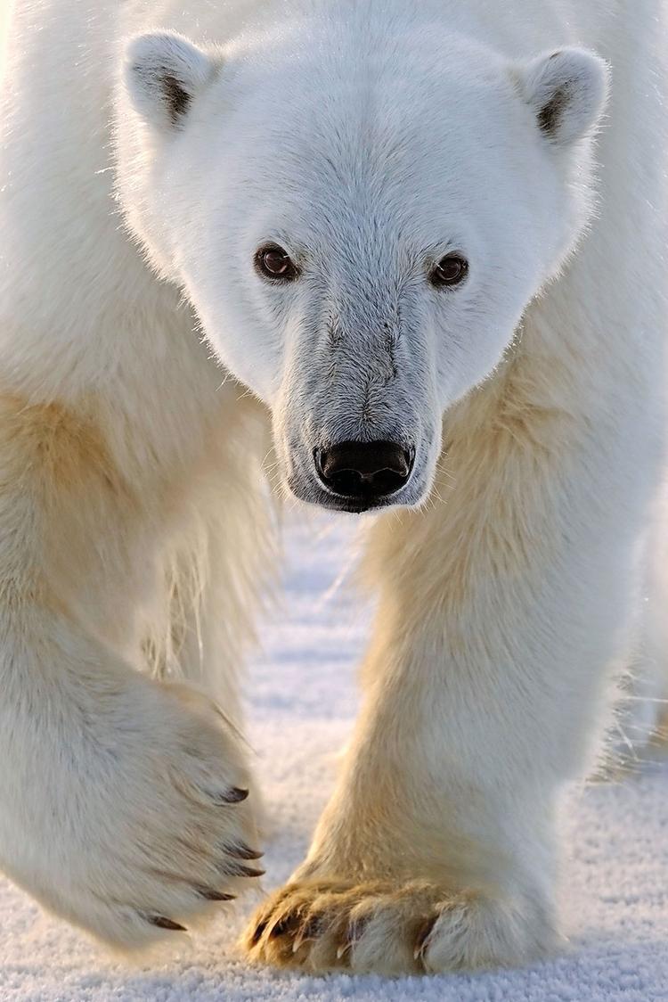 Norwegia, 2009 Niedźwiedź polarny sfotografowany na dryfującym lodzie w prowincji Svalbard w Norwegii