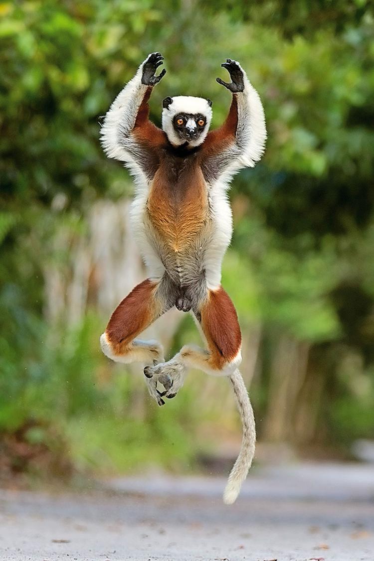 Madagaskar, 2012 Kolejne świetne ujęcie skaczącego lemura, wykonane z czasem ekspozycji wynoszącym 1/1000 s, fot. Andy Rouse
