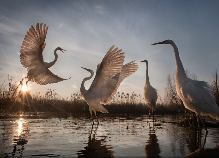 "III miejsce w kategorii ""Akcja"" - ""Changing Fortunes of the Great Egret"", fot. Zsolt Kudich 