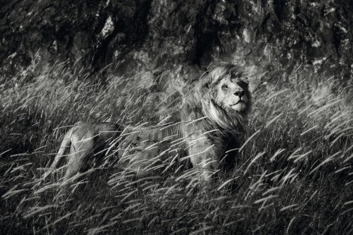 Lions Noire - artystyczne zdjęcia lwów
